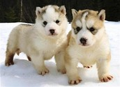Baby Husky Pups In The Snow