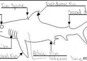 part of the Spiny Dogfish Shark (Bob)