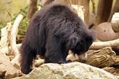 Sloth bear finding food