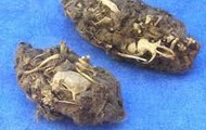 Owl Pellets on Friday