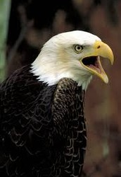 Frequently Asked Questions About Bald Eagles and DDT