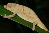 Pygmy Led Chameleon