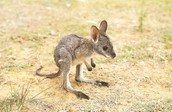 A BABY JOEY LOST