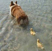 Dog & ducklings