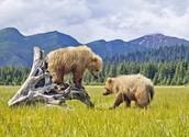 Bears Having Fun at Denali