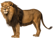 The lion is one of the big cats in the group Panthera and a member of the family.