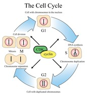 Cell Cycle (Phases)