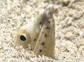 Sea Snake Burrowing