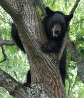 ~BLACK BEAR~