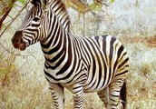 My favorite animal is a zebra