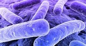 Bacteria de Salmonella