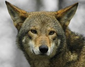 The Common and scientific name of the red wolf.