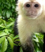 A monkey that lives in the  rainforest.