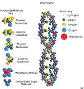 What is DNA made of?