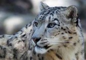 The Snow Leopard, It's Snow Joke