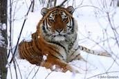 Siberian Tiger: Endangered