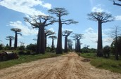 Avenue of the Baobabs