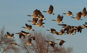 Geese Migrate