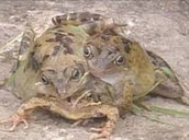 deformed frog is the product of radiation poisoning