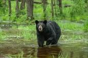 Scientific Classification of a Black Bear