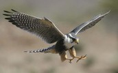 The peregrine falcon fling