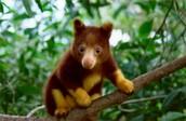 Tree Kangaroo (Dendrolagus)