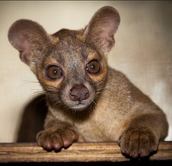 Young Adult Fossa 2