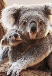 Interesting facts about koalas