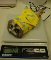 A injured Northern Saw-Whet owl