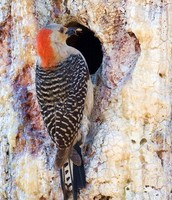 A Red-Cockaded Woodpecker bringing food to its nest.
