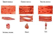 3 types of muscle tissues and what they look like