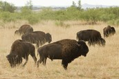 Bison and meat