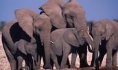 African Elaphant