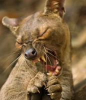 Young Adult Fossa 1