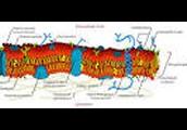 A plasma membrane