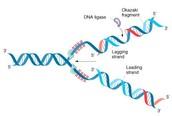 Ligase