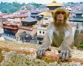 Nepal monkey in the city of Nepal