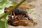 2 Cicada's chillin