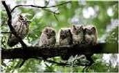 The Eastern scretch owl