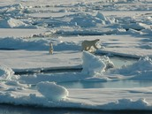 Polar Bear in Arctic Lands