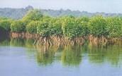 Mangrove mystery begins