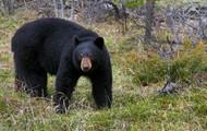 A bear hunting