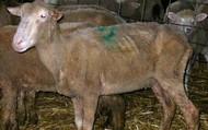 Underconditioned Ewe