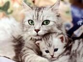 חתול רגיל