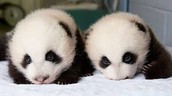 Do you think pandas are chubby and cute?