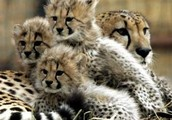 why the cheetah is endangered