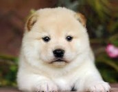 Dogs/Kennel( Shiba Inu)