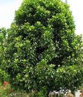 Clove Tree