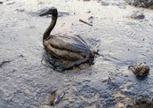 The Harmful Effects of Oil Spills