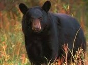 Blake Bear